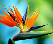 20PCS Strelitzia Reginae Tropical Bird of Paradise Mallowwort Flower Seeds Decor