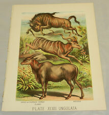 1880 Antique COLOR Print/GNOO HORNED HORSE (GNU/WILDEBEEST), ELAND, KOODOO