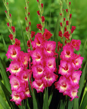 Gladiolus Bulbs - WINDSONG - Sword Lily - Hot Pink, Yellow Centers - 6 Bulbs