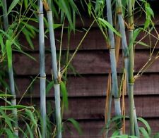 100+ fresh White Bamboo Seeds with instructions - Fargesia / Borinda Albocerea