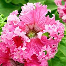 50 Pelleted Petunia Seeds Frillytunia Rose frilly tunia