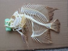 Taxidermy skull bones stuffing stuffed SKELETON MARINE AQUARIUM fish