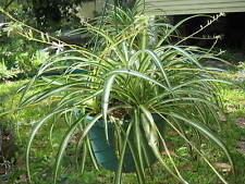 Lot of 12 Variegated SPIDER PLANT  Pups Air Purifying Chlorophytum comosum 200