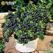 200 Pcs Blueberry Tree Seed, Fruit Blueberry Seed, Potted Bonsai Tree Seeds