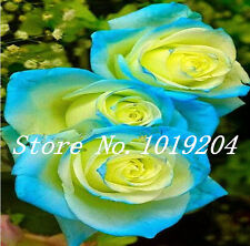 200PC sky blue yellow rose seeds. Bright flower seeds. Rare plants