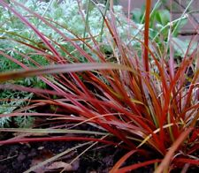 Uncinia 'rubra' 50 semillas-hardy perenne