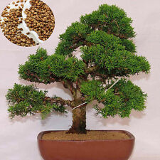 20pcs Japanese White Pine Pinus Green Plants Tree Seeds Parviflora  Bonsai Seeds