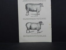 Sheep ONE In-Text Engraving Double Sided 1860s - 1880s #07 Sheared Cotswold Ram