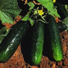 20 Seeds Spacemaster Bush Cucumber  new seeds for 2017 Non-GMO Heirloom Seeds