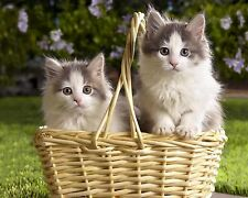 Basket of Kittens / Cat 8 x 10 GLOSSY Photo Picture