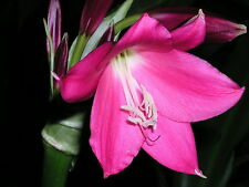 Crinum Lily, Rose Parade, JUMBO, blooming-size  bulb, NEW