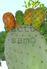 25 Orange Fruit Opuntia ficus indica Seeds Prickly Pear Paddle Cactus Tuna Nopal