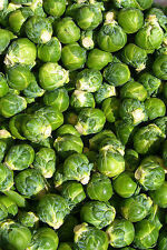 brussel sprouts, BRUSSELLS SPROUT, 65 SEEDS! GroCo..