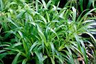 3 Luzula sylvatica Native wildflower Hardy Evergreen Groundcover shade grass