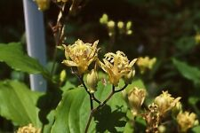 Tricyrtis puberula JAPANESE TOAD LILY Seeds!