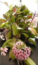 Varigated Hoya carnosa Tricolour Wax Plant -  approx. height 20cm
