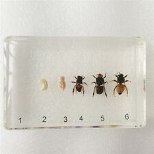 Life Cycle of Honey Bee Simplified Set Insect Specimen In Clear Block