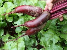 Organic Non-GMO Cylindra Beet,1/2 oz Approx. 1200+ seeds - HEIRLOOM (60 days)