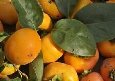 Kakipflaume,sharon fruit, Asian Persimmon, frosttolerant,5 Samen, 5 seeds
