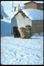 310011 Baby Sled Dogs Greenland A4 Photo Print