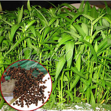 200Pcs Water Spinach Bamboo Large Leaf Organic Swamp Green Fresh Vegetable Seeds