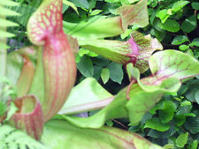 30 - 40 PURPLE PITCHER PLANT SEEDS ( Sarracenia purpurea purpurea )