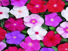 Vinca Seeds Sunsplash Mix 50 Seeds