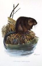 PLANCHE ANCIENNE MAMMIFÈRE RECTO/VERSO. LE RAT MUSQUÉ