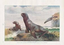 1910 NATURAL HISTORY DOUBLE SIDED PRINT ~ HOOKERS SEA LION / WHITE NOSED COATIS