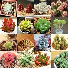 150pcs Seeds Mixed Succulent Lithops Living Plants Cactus Home Garden Yard Decor