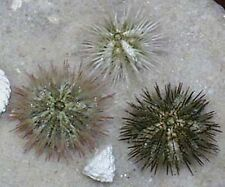 3 VARIEGATED SEA URCHIN - SOFT CORAL & LIVE CORAL SAFE