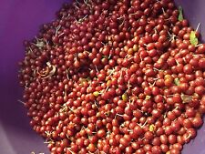 5 Autumn Olive Seeds VERY NUTRITIOUS HIGH IN LYCOPENE