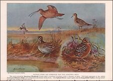Woodcock, Snipe Plover, Curlew Birds by Allan Brooks, vintage print, 1937