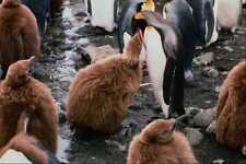 541035 King Penguin Feeding A Chick A4 Photo Print