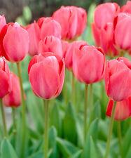 """10 x Pink Tulip 'VAN EIJK """"LAMPADINE (impianto di casa)"""