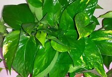 Five long Golden Pothos Rooted Starter Plant Vines (Epipremnum aureum)