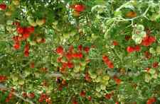 Tomato Giant Italian Tree 100 Seeds Minimum Vegetable Garden Plant Rare Heirloom