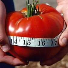 "Tomato ""Delicious"" Guiness World Record Largest Tomato 30+ SEEDS COMBINED SHIP"