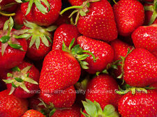 100 FORT LARAMIE EVER BEARING STRAWBERRY PLANTS - Great for Northern Areas