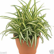 100 seeds of spider plant Chlorophytum comosum Bernards lily ivy ribbon airplane