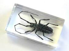 Real Insect paper weight, Longhorn beetle, real bug