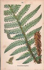 1875 Ca ANTIQUE BOTANICAL PRINT-FERNS-POLYSTICHUM ANGULARE