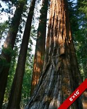 GIANT SEQUOIA REDWOOD TREE FOREST TALL TREES PHOTO ART REAL CANVAS PRINT
