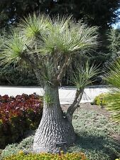 Beaucarnea gracilis - Pony Tail Palm - 25 Seeds