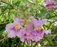 SEEDS 8 graines de SAULE DU DESERT(Chilopsis Linearis) DESERT WILLOW