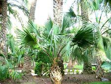 Sabal bermudana-Bermuda Palmetto - 10 las semillas frescas