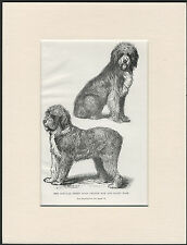 OLD ENGLISH SHEEPDOG NAMED DOGS RARE OLD 1890's ANTIQUE PRINT READY MOUNTED