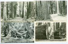 Redwood Highway CA Fallen Monarch, Octopus Trees,Massive Monarchs & Redwoods Poe