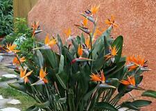 Strelitzia Reginae, flowering Bird of Paradise exotic Crane Flower seed 15 seeds