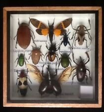 REAL EXOTIC HUGH 11 INSECT DISPLAY TAXIDERMY ENTOMOLOGY JEWEL BEETLE INSECTS